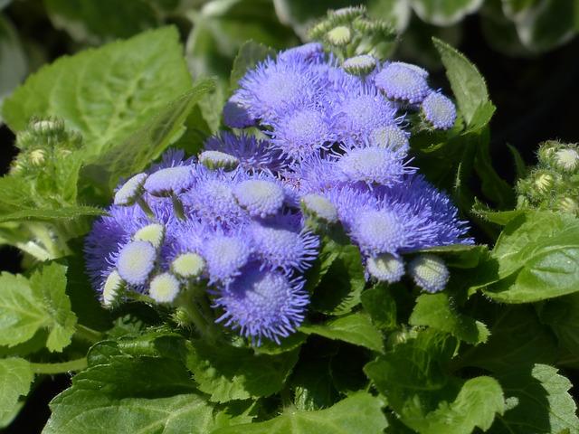 летние цветы агератум